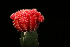 Księżyc kaktus Fotografia Royalty Free