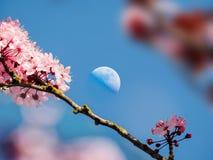 Księżyc nad czereśniowym kwiatem w niebieskim niebie Fotografia Royalty Free