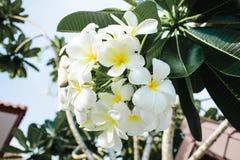 Księżyc orchidea Fotografia Royalty Free