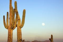 księżyc w pełni kaktusowy saguaro Zdjęcie Stock