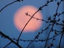Księżyc w pełni przez gałąź fotografia royalty free