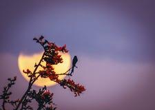 Księżyc w pełni rododendronowy czarny drongo obraz stock