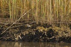Küstenlinie mit Schilfen und beschmutztem Flussuferläufer Lizenzfreies Stockbild