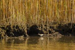 Küstenlinie, Schilfe und Waten des Flussuferläufers Lizenzfreie Stockbilder
