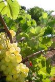 Köstliche gelbe Pampelmuse auf Weinbergfeldern Lizenzfreie Stockfotos