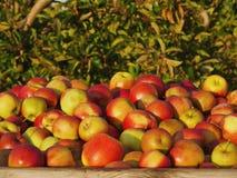 Köstliche und frische Äpfel im Kasten Lizenzfreie Stockfotografie