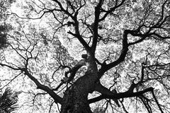 Kształt Samanea saman drzewa i wzór gałąź w czarny i biały brzmieniu zdjęcia royalty free