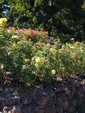 Kształtować teren i różani krzaki zdjęcie royalty free