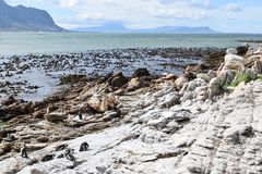 Kształtuje teren i wyrzucać na brzeg w bettyzatoce z ślicznymi Jackass pingwinami blisko Kapsztad, Południowa Afryka Obraz Stock