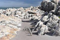 Kształtuje teren i wyrzucać na brzeg w bettyzatoce z ślicznymi Jackass pingwinami blisko Kapsztad, Południowa Afryka Zdjęcia Stock