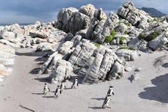 Kształtuje teren i wyrzucać na brzeg w bettyzatoce z ślicznymi Jackass pingwinami blisko Kapsztad, Południowa Afryka Zdjęcie Stock