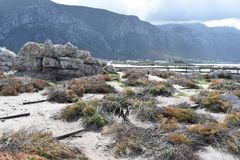 Kształtuje teren i wyrzucać na brzeg w bettyzatoce z ślicznymi Jackass pingwinami blisko Kapsztad, Południowa Afryka Zdjęcie Royalty Free