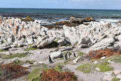 Kształtuje teren i wyrzucać na brzeg w bettyzatoce z ślicznymi Jackass pingwinami blisko Kapsztad, Południowa Afryka Fotografia Royalty Free