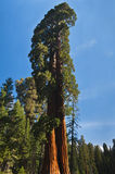 kąta redwood drzewo oddolny Obrazy Royalty Free