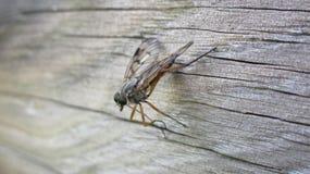 Ktyr de chasseur de mouche dans l'embuscade photo libre de droits