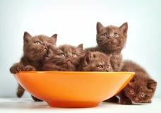 Kätzchen Browns Briten Lizenzfreies Stockfoto