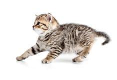 Kätzchen, das zurück hängt oder lokalisiert auf Weiß zurücktritt Stockfotos