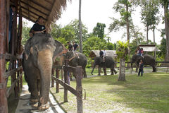 Kuala Gandah Elephant Orphanage Sanctuary Royalty Free Stock Photos