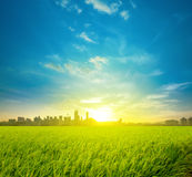 Rice field plantation and city Royalty Free Stock Image