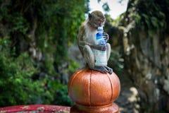 Kuala Lumpur, Malaysia - February 26, 2019: Monkey drinking from calpis bottle at Batu Caves. stock photo