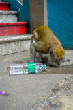 Kuala Lumpur, Malaysia - March 9, 2017: Monkey drinking soda can in the stairs to Batu Caves, a limestone hill with big Stock Photo