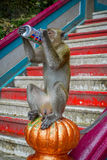 Kuala Lumpur, Malaysia - March 9, 2017: Monkey drinking soda can in the stairs to Batu Caves, a limestone hill with big Stock Images