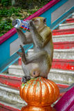 Kuala Lumpur, Malaysia - March 9, 2017: Monkey drinking soda can in the stairs to Batu Caves, a limestone hill with big Stock Photos