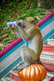 Kuala Lumpur, Malaysia - March 9, 2017: Monkey drinking soda can in the stairs to Batu Caves, a limestone hill with big Stock Image