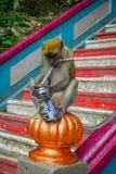 Kuala Lumpur, Malesia - 9 marzo 2017: Monkey la latta di soda bevente nelle scale alle caverne di Batu, una collina del calcare c Fotografie Stock Libere da Diritti