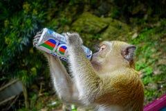 Kuala Lumpur, Malesia - 9 marzo 2017: Monkey la latta di soda bevente nelle scale alle caverne di Batu, una collina del calcare c Fotografia Stock