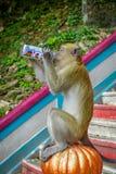 Kuala Lumpur, Malesia - 9 marzo 2017: Monkey la latta di soda bevente nelle scale alle caverne di Batu, una collina del calcare c Fotografia Stock Libera da Diritti