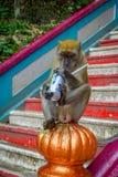 Kuala Lumpur, Malesia - 9 marzo 2017: Monkey la latta di soda bevente nelle scale alle caverne di Batu, una collina del calcare c Immagini Stock