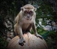 Kuala Lumpur Monkey. Taken in 2015 royalty free stock photo