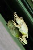 Kubańska Drzewna żaba ściska okno Obrazy Stock