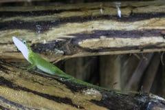 Kubański żeński jaszczurki Allison ` s Anole, także znać jako przewodzący anole - Varadero, Kuba fotografia stock