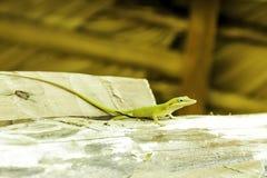 Kubański żeński jaszczurki Allison ` s Anole, także znać jako przewodzący anole - Varadero, Kuba zdjęcie royalty free