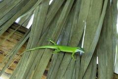 Kubański żeński jaszczurki Allison ` s Anole Varadero, Kuba - Anolis allisoni, także znać jako przewodzący anole - fotografia stock