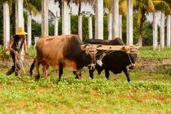 Kubański chłop z wołami orze w Vinales dolinie obrazy royalty free