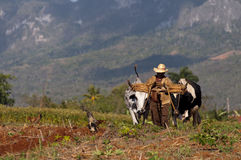 Kubański rolnik orze jego pole z dwa wołami na Marzec 22nd w Vinales, Kuba. Zdjęcia Royalty Free