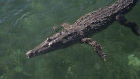 Kubański saltwater krokodyl zdjęcie wideo
