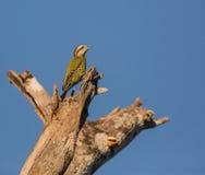 Kubański Zielony dzięcioł na górze drzewa Zdjęcie Royalty Free
