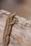 Kubańczyk Pasiasta Ogoniasta jaszczurka Zdjęcie Royalty Free