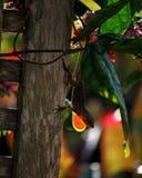 Kubańczyka Brown Anole Rozblaskowy Dewlap Fotografia Stock