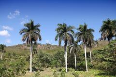 Kuba drzewka palmowe Zdjęcie Stock