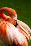 Kuba flamingo arkivfoton