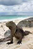 kubańska iguana obrazy royalty free