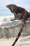 kubańska iguana fotografia royalty free