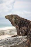kubańska iguana obraz stock