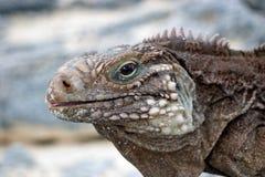 kubańska iguana obraz royalty free
