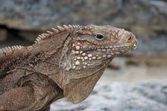kubańska iguana zdjęcie stock